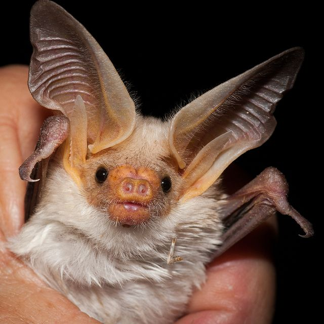 While some are terrified of bats due to their demonization in folklore, these species of the US are not only cute, but incredibly beneficial in many ways! http://sunnyscope.com/bat-species-of-the-us/