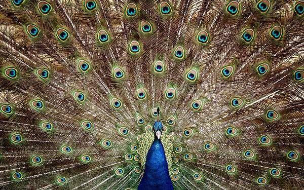 大きな羽を広げたクジャクの美しい写真壁紙画像