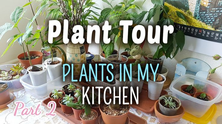 Plant Tour PART 2 | Plants in my Kitchen  The second part of the Plant Tour serie is here. You can see all the plants I grow in my kitchen.  Secret, don't tell anyone: I don't have any herbs growing in my kitchen. :D  Instead, I have many succulents and two horse chestnut trees are growing on the kitchen table. There is barely any space on that table to sit down and to eat there.