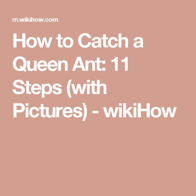 How to Catch a Queen Ant: 11 Steps (with Pictures) - wikiHow