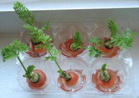 Germinación de zanahorias sin semillas. En agua