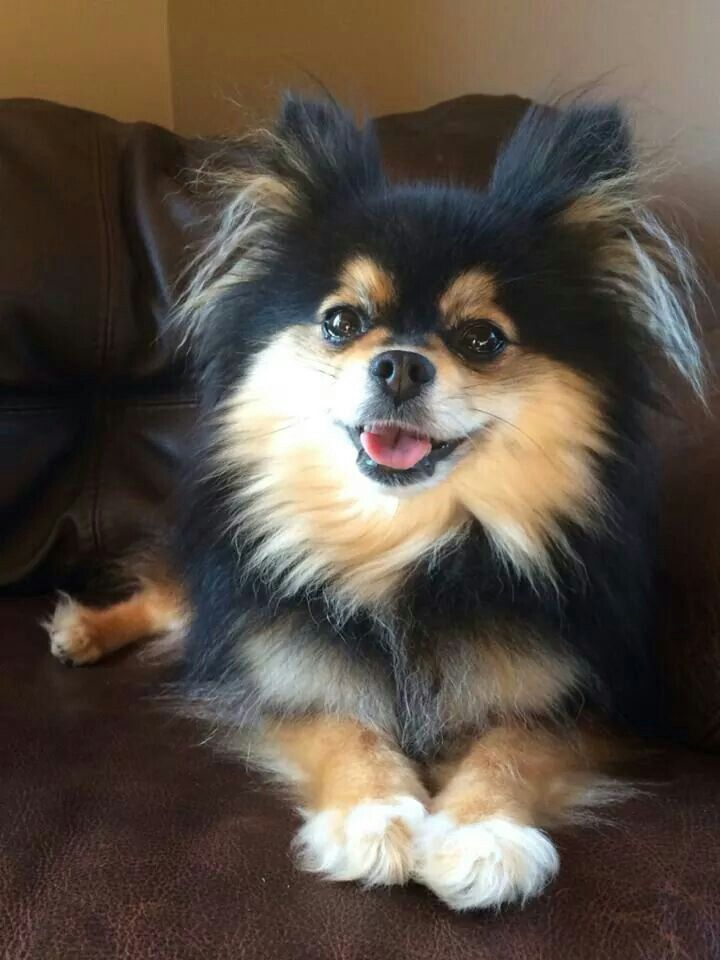 .Black and tan pom!