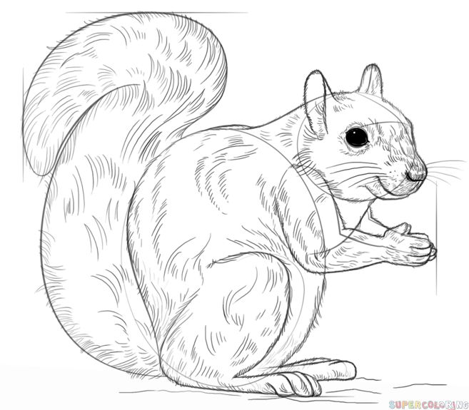 25+ best Eastern gray squirrel ideas on Pinterest
