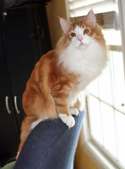 Norja Norwegian Forest Cats Home Page