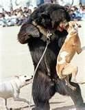 Bear baiting - where dogs are set on bears.