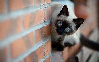 Scarica sfondi muro di mattoni, gatto siamese, guardando