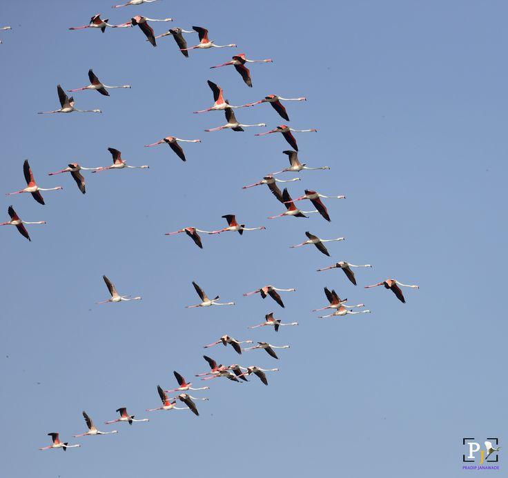 Greater Flamingo, - Greater Flamingo, @Nalsarover, Ahmadabad, Gujrat State,
