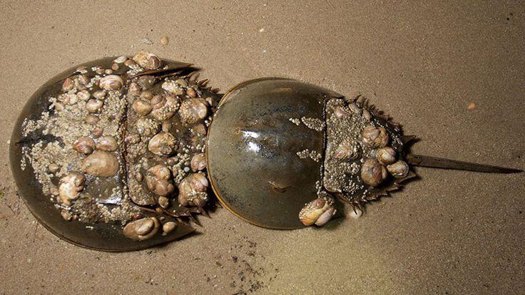 Cientos de cangrejos herradura han aparecido muertos sin motivo aparente en las…