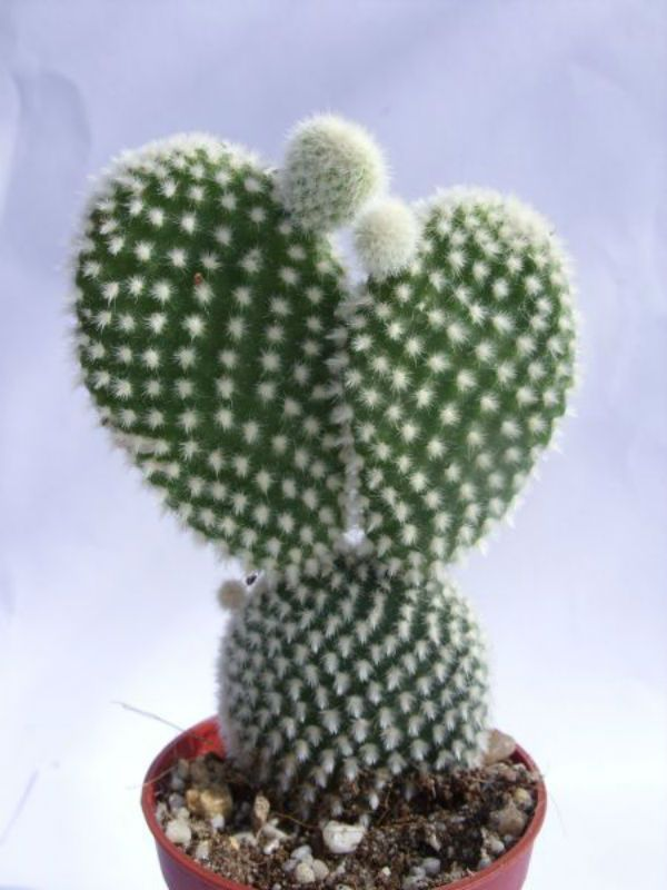 Opuntia microdasys var. albispina – Polka Dots, Angel Wings - See more at: http://www.worldofsucculents.com/opuntia-microdasys-var-albispina-polka-dots-angel-wings/