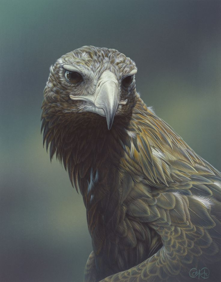 """""""Wedge-tailed Eagle"""" - artwork by Christopher Pope - now available as fine art reproductions - http://www.artreproductions.com.au/gallery.php?artid=2435"""