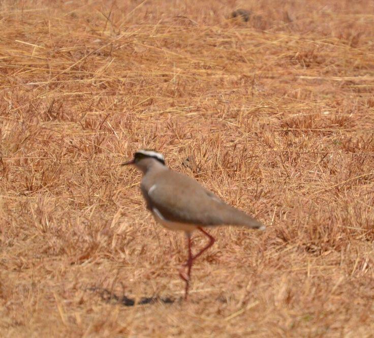 Kiewiet/Crowned Plover at Sondela