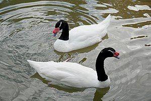 Cisne de cuello negro  El cisne de cuello negro (Cygnus melancoryphus) es un cisne que es el ave acuática más grande de Sudamérica.
