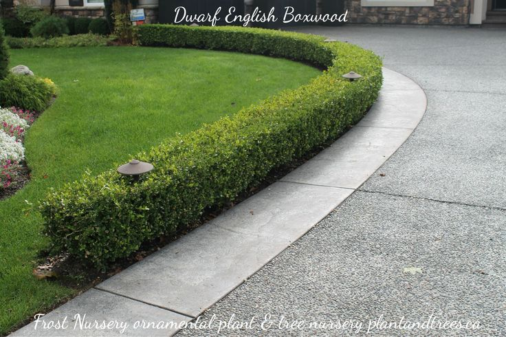Dwarf English Boxwood for edging side walks & driveways ...