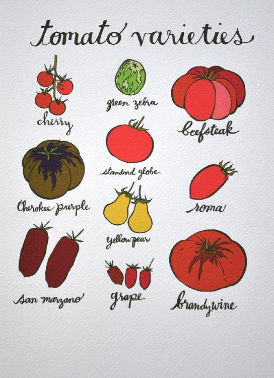 I'm growing some beefsteak tomato's right now!    tomato kitchen print  original illustration  by KatherineCodega on etsy 28.00