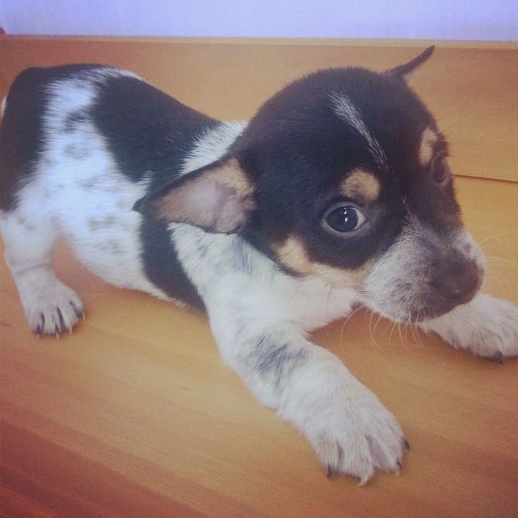 mini jack dogs | black white miniature jack russell puppies £ 200 posted 5 months ago ...