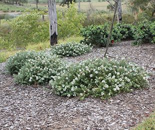 LOW HORIZON™ Westringia is a dense and ultra-compact ground cover | Native Shrubs & Ground Covers