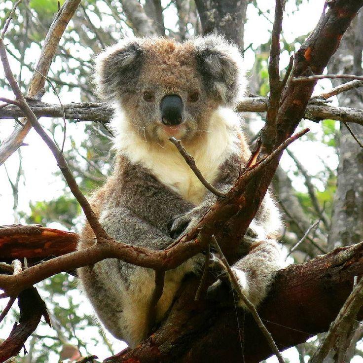 Wot you lookin at? #koala #australia #Victoria #nature #animal #backpacking #backpacker #greatoceanroad by j.sears