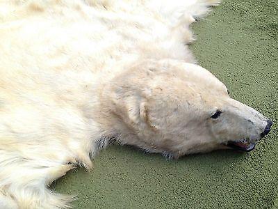 GENUINE CANADIAN POLAR BEAR SKIN RUG TAXIDERMY.Ice.Shabby Chic.Trophy.Tiger