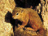 Tree Squirrel - Warthog Lodge