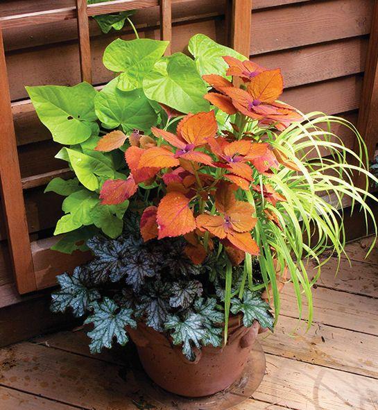Part shade: Sweet potato vine, coleus Sedona, hak grass All Gold, heuchera Black Currant