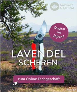 Lavendel schneiden ist wichtig um das gesunde Wachstum der Pflanze zu fördern. Dabei ist wichtig: Wann, Frühjahr & Spätsommer und Lavendel richtig schneiden