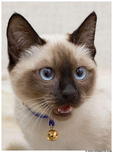 siamese cat—applehead. #SiameseCat