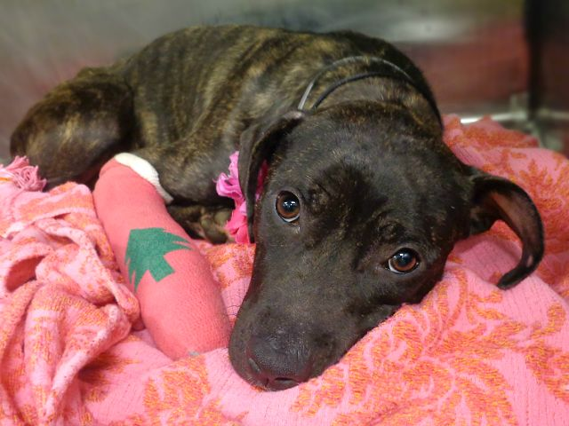 SAMANTHA - A1100285 - - Manhattan  Please Share:TO BE DESTROYED 12/28/2016 **NEW HOPE RESCUE ONLY** ***POSSIBLE LEG FRACTURE*** -  Click for info & Current Status: http://nycdogs.urgentpodr.org/samantha-a1100285/