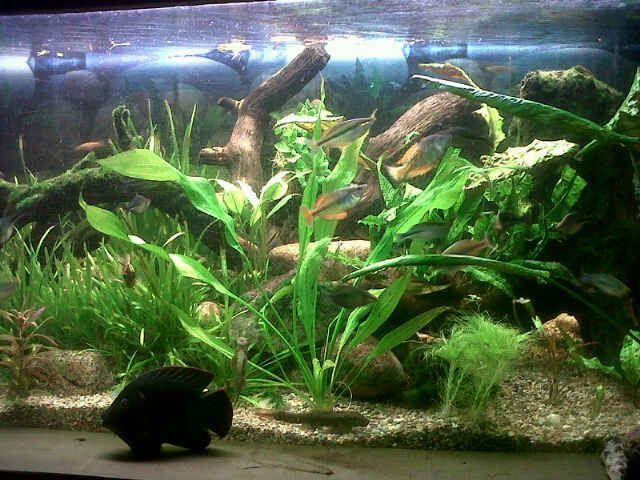 Australian rainbow fish tank