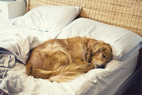 how could you ever get mad at this?Dogs Beds, Sleep Dogs, Puppies, Golden Retrievers, Snuggle, Sweets Dreams, Naps Time, Cuddling Buddy, Animal