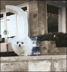 The Elegant Pomeranian