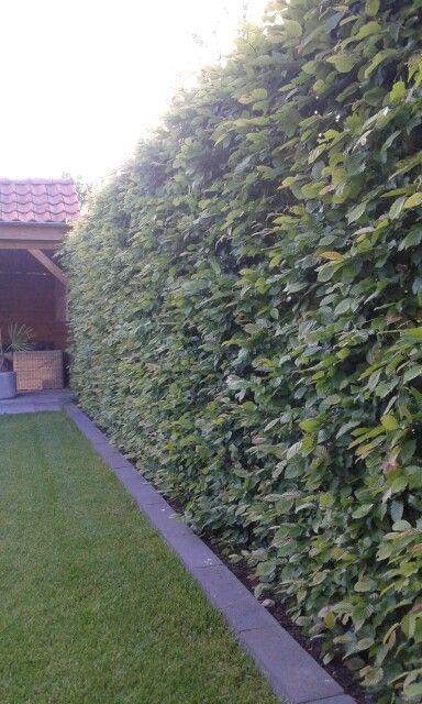 Haagbeuk (carpines betulus) bladverliezend geen luis boomkwekerij denissen