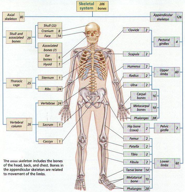 121 best images about skeletal system on pinterest | flail chest, Skeleton