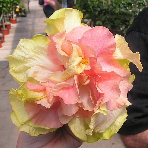 Hibiscus rosa-sinensis Cajun Two Step is a DuPont-Gerlich Hibiscus cultivar. c.