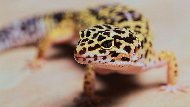Leopard Gecko—Leopard Gecko Habitat and Food Information ...
