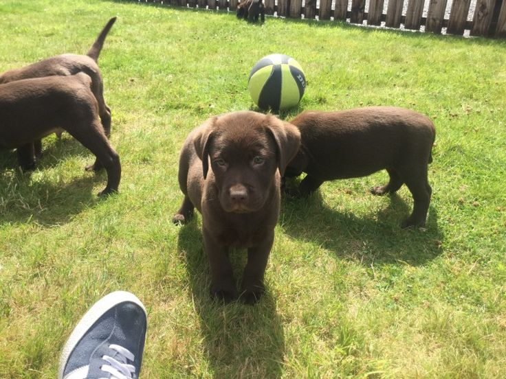Best 20+ Labrador puppies for sale ideas on Pinterest | Labrador ...