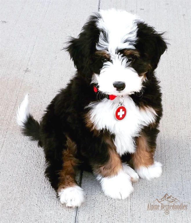 Pin by Jennifer Zakutney on Huggables Bernedoodle puppy