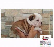 Fotos de Bulldog ingles en medellin cachorritos divinos