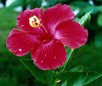 De hibiscusplant smaakmaker, shampoo, bloedstelpend.