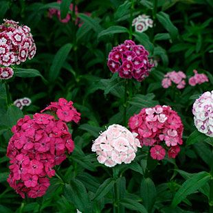 Dianthus barbatus 'Summer Sundae' doesn't need vernalization, so unlike traditional Sweet Williams will bloom the first year from seed.