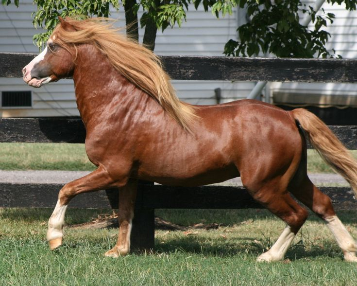 Forlan Tarragon* [Springbourne Carraway x Forlan Treasure] Imported Section A Stallion - 12hh National Champion Section A Stallion 1999 GLENHAVEN WELSH PONIES & COBS