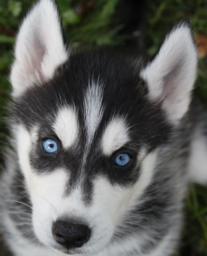 Gorgeous Beautiful Lively Blueeyed Siberianhusky