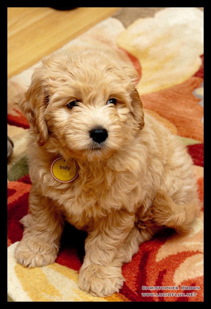 Our Golden doodle puppy
