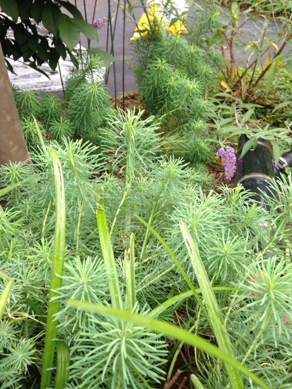 Cypress Spurge (euphorbia cyparissias): This appears to be cypress spurge. Grows up to 2+ feet tall, spreads by rhizomes. Yellow-green flowers appear in spring or early summer.
