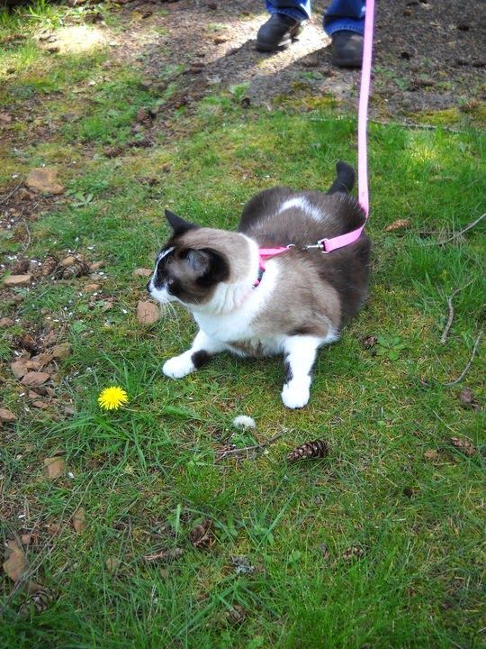 Cat on a pink leash, photographed in Battle Ground, USA. Called Aurora, she's the cat of author Marilyn Conner Miles (Holiday Heart). Find out more: http://www.traveling-cats.com/2014/06/cat-from-battle-ground-usa.html
