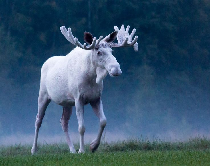 Rare white Moose photographed in Sweden! Photo: Anders Tedeholm                                                                                                                                                                                 More