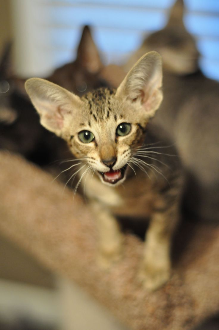 43 best Oriental Shorthair Cat Breed images on Pinterest