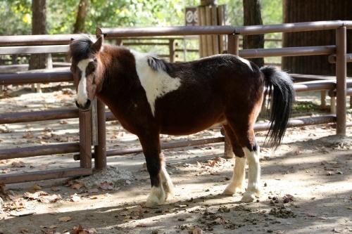 Domestic Horse(Shetland Pony)