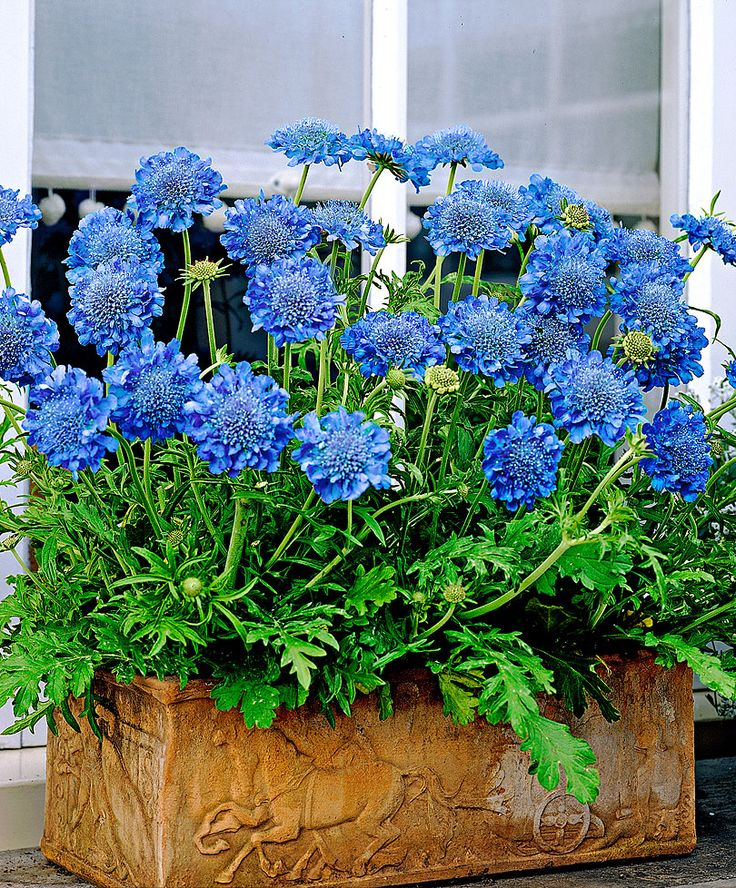 Double-Flowered Scabiosa 'Blue Diamonds' - Blooms from spring until fall, A perennial that lends well to container gardening. Zones 5-7. Would love to find a true blue scabiosa.