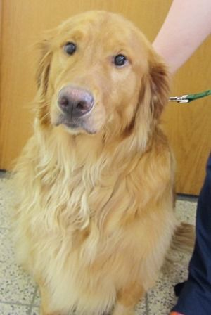 This is Emmett - 2 yrs. He was an owner surrender when his owner could not afford his medical care any longer. He suffers from seizures and has been taking  phenobarbital and potassium bromide and has been seizure free. He is neutered and current on vaccinations. G.R.I.N.,OH.  http://www.grinrescue.org/featured-golden-mobile/746-emmett-13081.html