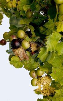 Multi-Wear Wrap - Grapes 1984 by VIDA VIDA dwB6x6